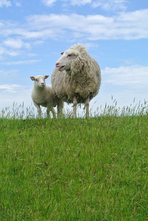 sheep-966749_960_720
