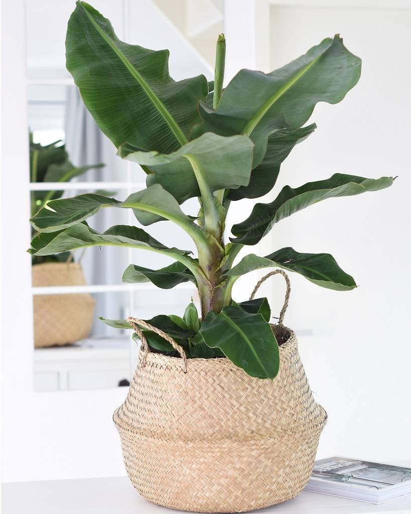 bananenplant-musa-tropische-kamerplant-puurvangeluk