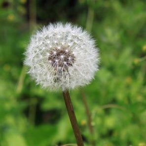 dandelion-1390887_960_720